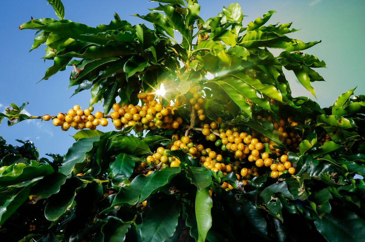 銀座カフェーパウリスタ『パウロさんのコーヒー』3